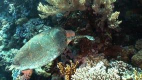 Imbricata Eretmochelys морской черепахи Hawksbill гиганта в чисто прозрачной воде акции видеоматериалы