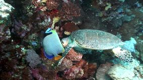 Imbricata Eretmochelys морской черепахи Hawksbill гиганта в чисто прозрачной воде сток-видео