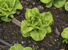 Imburri la lattuga a cappuccio, verdura idroponica che pianta nel suolo Fotografia Stock