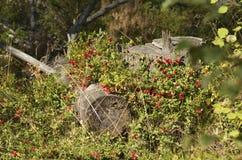 Imbussola i mirtilli rossi su un ceppo nella foresta Immagini Stock