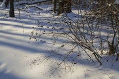 Imbussola il kalinolistnogo di physocarpus (opulifolius di physocarpus) nella foresta Russia dell'inverno Immagini Stock Libere da Diritti