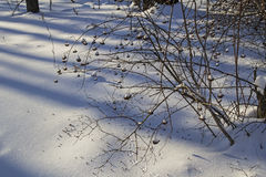 Imbussola il kalinolistnogo di physocarpus (opulifolius di physocarpus) nella foresta Russia dell'inverno Fotografia Stock Libera da Diritti