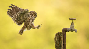 Imcoming... A wild little owl coming into land on an old water tap Stock Images