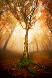Img_3111. Tree in the forest with backlight fog royalty free stock photos