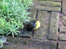 IMG_2744a_Golden Yellowbirds开始每新的生活 图库摄影