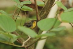 IMG_1638_Golden Yellowbirds开始每新的生活 库存图片