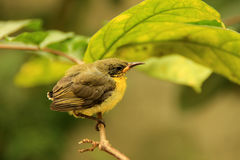 IMG_1640_Golden Yellowbirds开始每新的生活 免版税库存照片