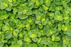 Imge of Mint Stock Images