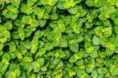Imge of Mint Royalty Free Stock Photo