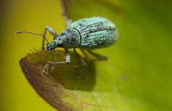 Imigrant leaf weevil Royalty Free Stock Photo