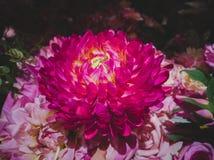 Imitacja kwiaty, duzi menchia kwiaty obraz royalty free