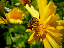Imitador 2 de la abeja Foto de archivo