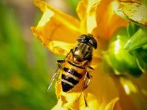 Imitador de la abeja Foto de archivo