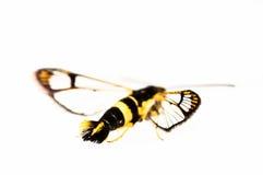 Imitador de la mariposa aislado en blanco Foto de archivo libre de regalías