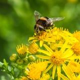 Imitador del abejorro Foto de archivo