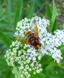 Imitador del avispón hoverfly que se sienta en una flor Imagenes de archivo