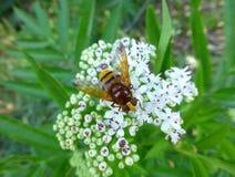 Imitador del avispón hoverfly que se sienta en una flor blanca Fotografía de archivo