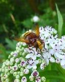 Imitador hermoso del avispón hoverfly que se sienta en una flor blanca Imágenes de archivo libres de regalías