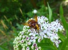 Imitador hermoso del avispón hoverfly que se sienta en una planta Fotografía de archivo