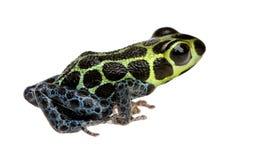 Imitando la rana del veleno - imitatore di Ranitomeya Immagine Stock