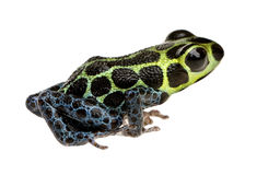 Imitating Poison Frog - Ranitomeya imitator Stock Image