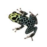Imitating Poison Frog - Ranitomeya imitator. In front of a white background Royalty Free Stock Photo