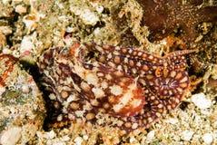 Imiterad bläckfisk i Ambon, Maluku, Indonesien undervattens- foto Royaltyfria Foton