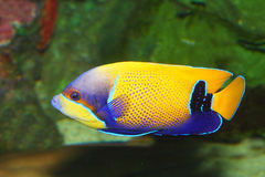 Imiterad surgeonfish Royaltyfri Bild