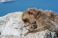 Imitez le sommeil sur un dessus de roche du Gibraltar Photographie stock