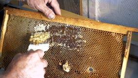 Imkeröffnungsbienenwaben mit Bienenmesser Ein Imker, der eine Messergabel verwendet, um das Wachs vom Rahmen zu schneiden stock video footage