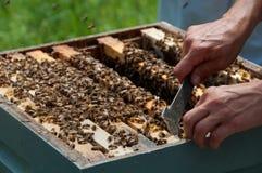 Imker, der Bienenstock-Hilfsmittel verwendet, um Honeeycombs zu trennen Stockfoto