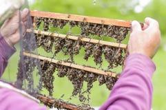 Imker, der Bienenwabe mit Bienen hält Lizenzfreie Stockbilder