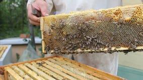 Imker, der an dem Bienenvolk in der Hand hält Bienenwabe arbeitet stock video footage