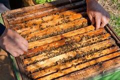 Imker, der einen Bienenstock überprüft, um Gesundheit des Bienenvolks sicherzustellen Stockbild