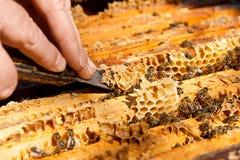 Imker, der einen Bienenstock überprüft, um Gesundheit des Bienenvolks sicherzustellen Lizenzfreie Stockfotografie
