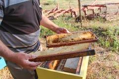 Imker, der einen Rahmen der Bienenwabe hält Stockfotografie