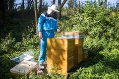 Imker, der frische goldene Honigbienen gesund macht stockfotografie