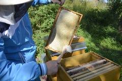 Imker, der frische goldene Honigbienen gesund macht lizenzfreie stockbilder