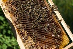 Imker, der frische goldene Honigbienen gesund macht stockbild