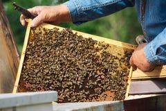 Imker, der Rahmen der Bienenwabe mit Arbeitsbienen im Freien hält Lizenzfreie Stockfotografie