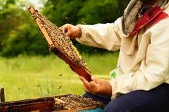 Imker, der Rahmen der Bienenwabe mit Bienen hält Stockfoto