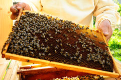Imker hält Bienenbienenwaben Lizenzfreies Stockbild