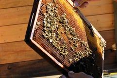 Imker hält Feld mit Bienenwabe Stockfoto