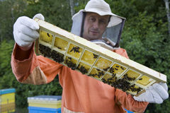 Imker Holding Honeycomb With Honey Bees Stockfotos
