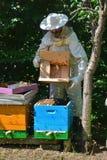 Imker rüttelt Paketschwarm von Bienen im blauen Bienenstock - Detail Stockfotografie