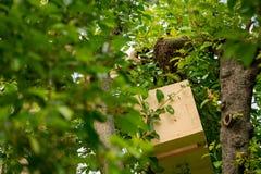 imkerij Imker die ontsnapte aan bijenzwerm van een boom verzamelen Bijenstalachtergrond royalty-vrije stock afbeelding