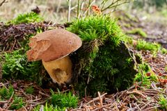 Imleria-badia Pilz in der natürlichen Umwelt Stockfotografie