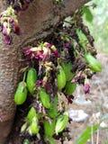 Imli-frut stockbilder