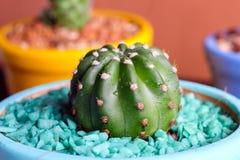 Immagine alta chiusa di bello cactus sul vaso variopinto Fotografia Stock Libera da Diritti