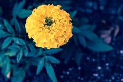 Immagine alta vicina di buio del fiore giallo del tagete Fotografia Stock Libera da Diritti